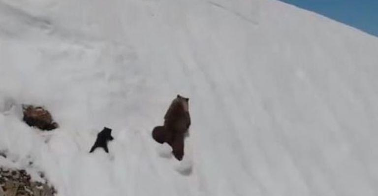 Bebê urso segue sua mãe rumo ao topo da montanha nevada na Rússia